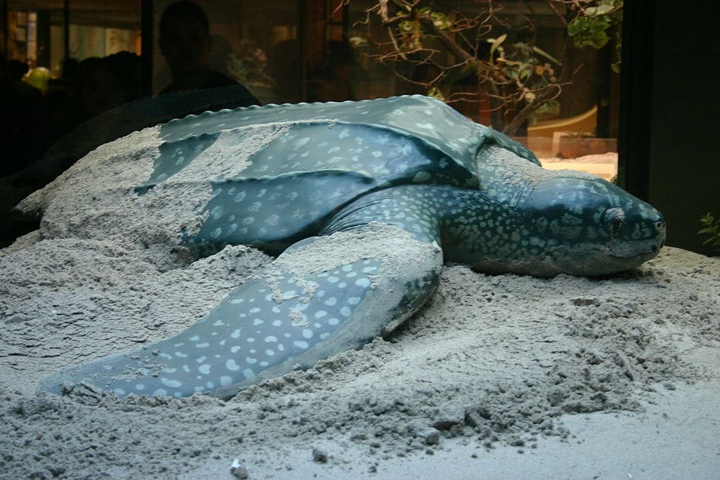 Leatherback Turtle Thumbnail