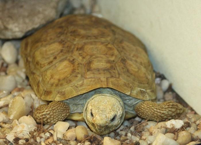Pancake Tortoise. Photo: Trisha Shears