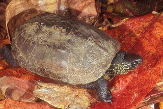 Reeve's Turtles