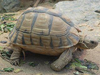Kleinmann's Tortoise