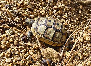 Turtles Hermann's Tortoise