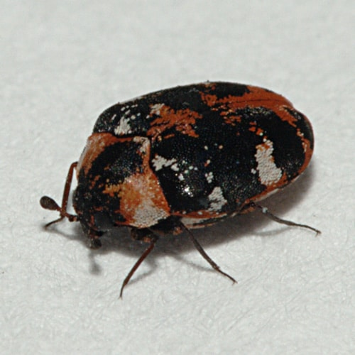 Common Carpet Beetle