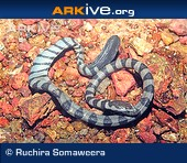 ARKive species - Arabian Gulf sea snake (Hydrophis lapemoides)
