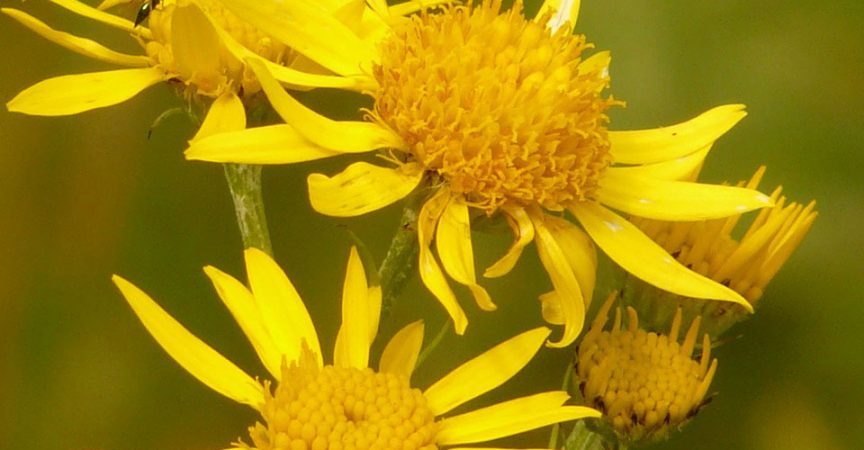 Arnica Montana - Learn About Nature