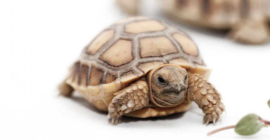 Important Facts About the Baby Sulcata Tortoise - Learn