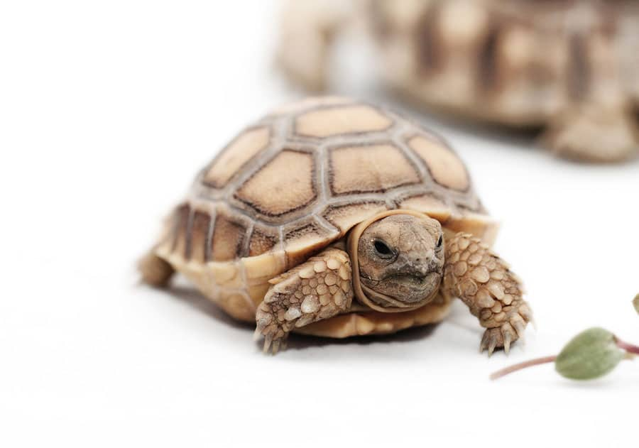 Important Facts About The Baby Sulcata Tortoise Learn