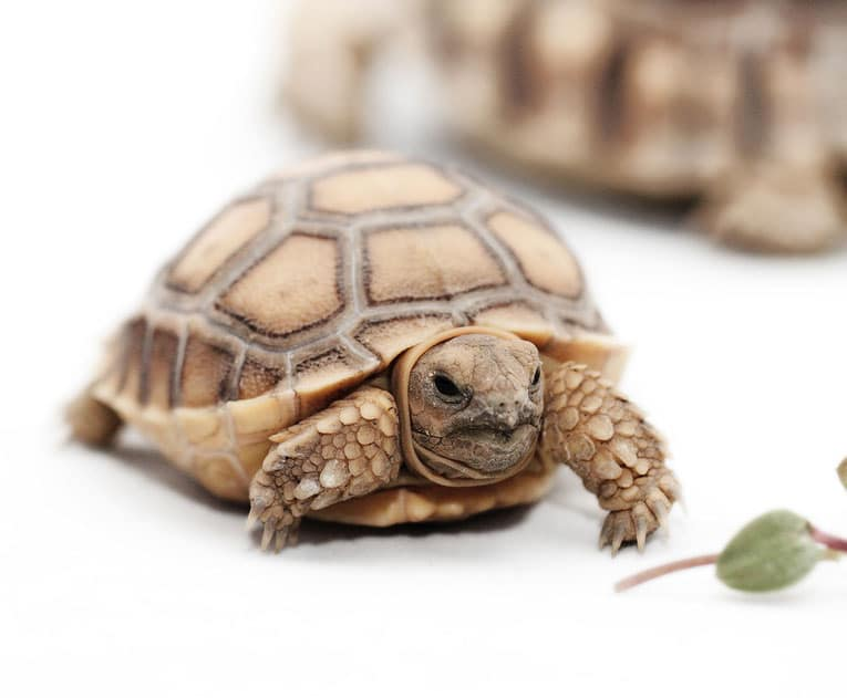 Baby African Spurred Tortoise. Photo: Bigstock