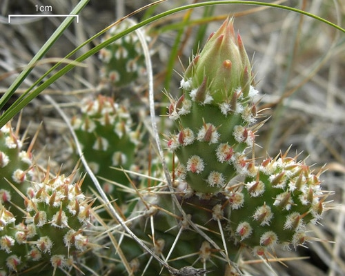 Cactus Fruit - Learn About Nature