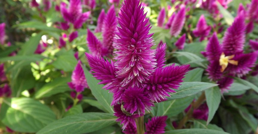 Celosia derived from the greek word kelos meaning burned img mightylinksfo