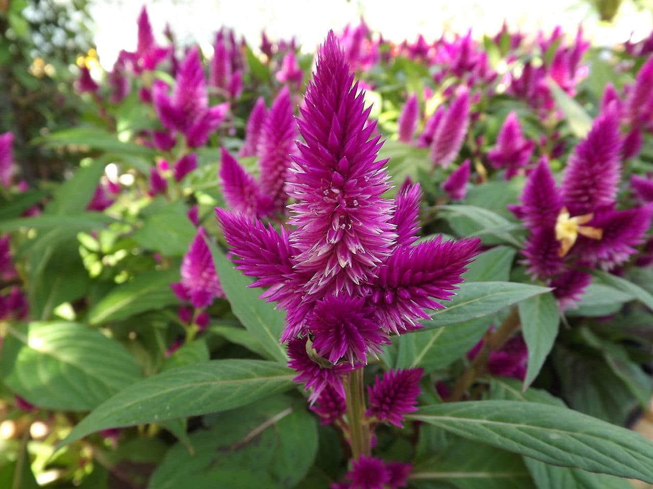 Celosia Derived From The Greek Word Kelos Meaning Burned