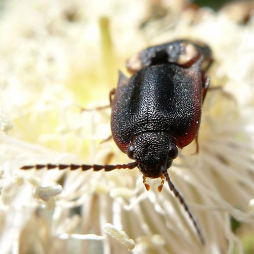 Beetle Identification - Learn About Nature