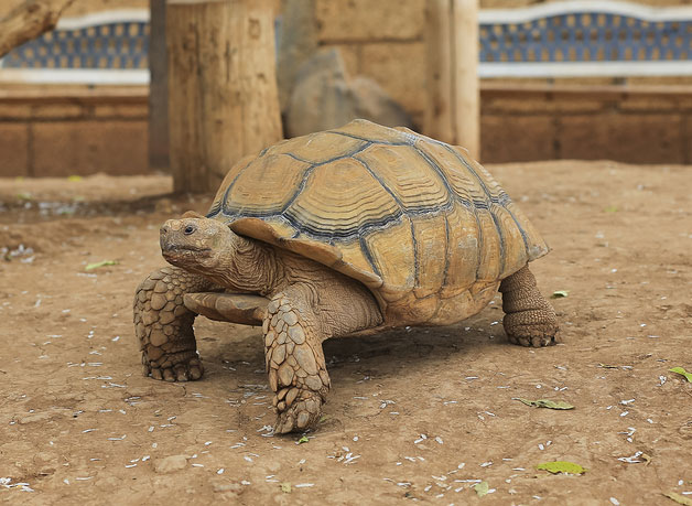 learn about nature quick facts about tortoise pet