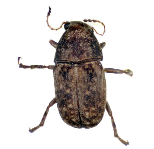 Coffee-bean Weevil