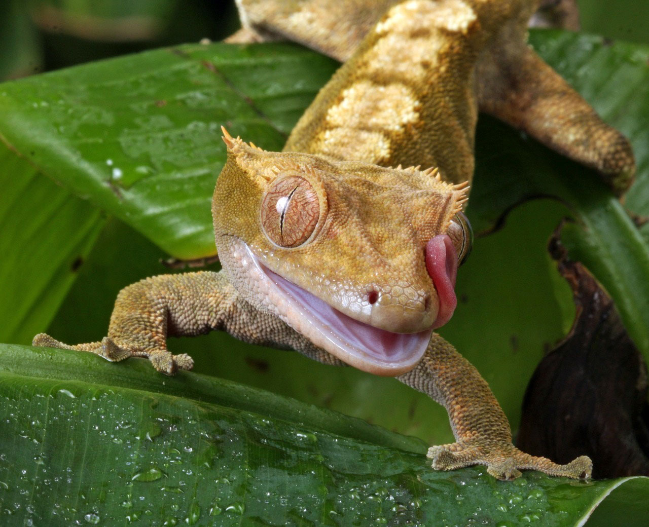 Learn About Nature | Crested Gecko - Famous in the Pet Trade - Learn ...