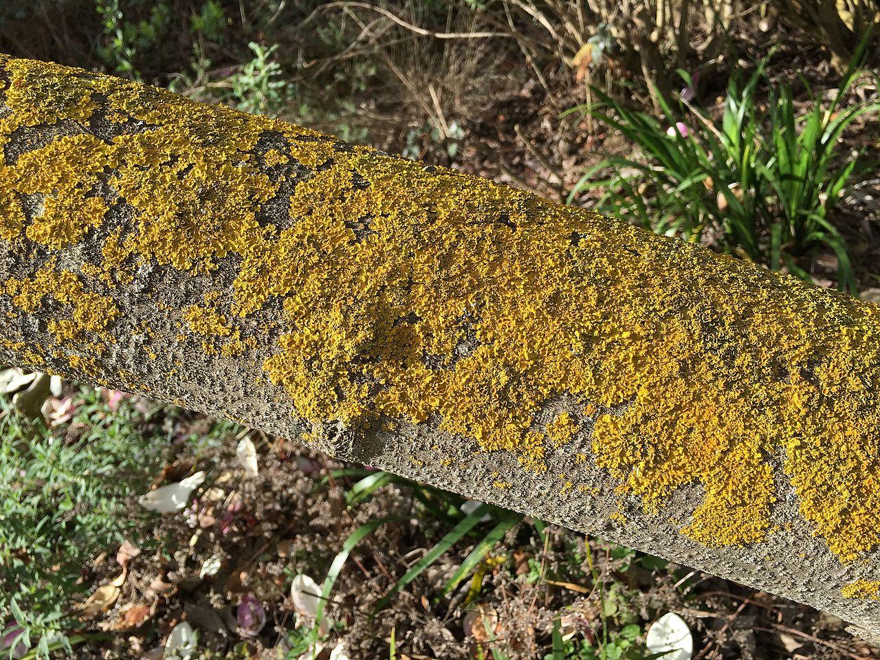Crustose Lichen - Learn About Nature  Crustose Lichen...