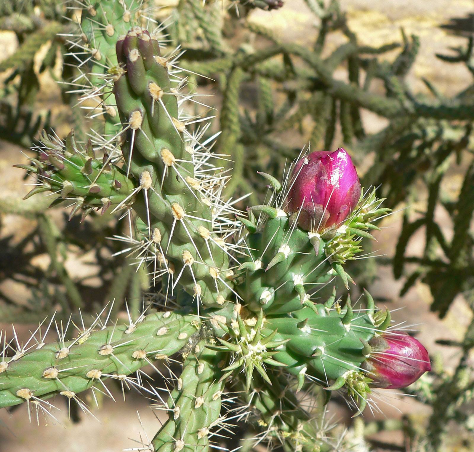 Learn About Nature | Cholla Cactus - Learn About Nature