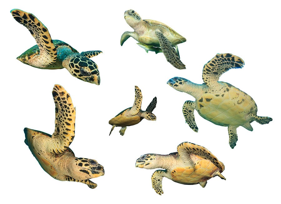 Different Types of Turtles Thumbnail