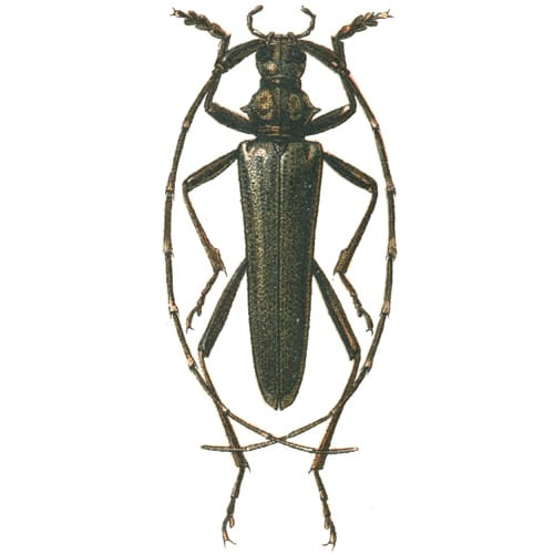 Woodboring Beetle