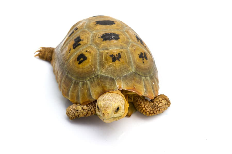 Elongated Tortoise - Learn About Nature