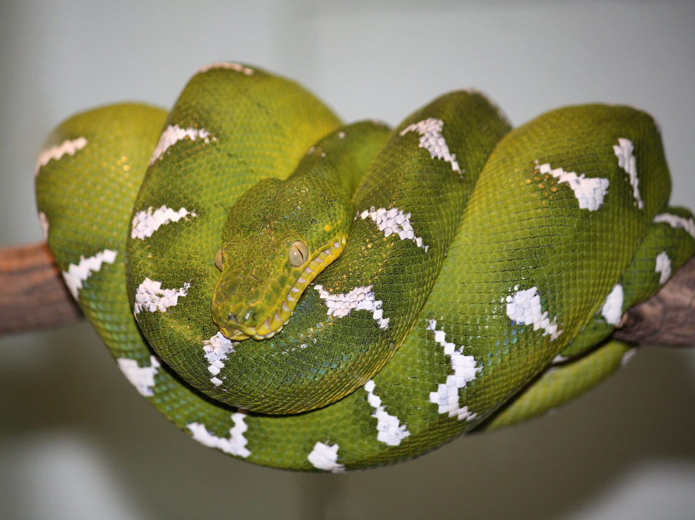 Learn about Nature | Emerald Tree Boa - Learn about Nature
