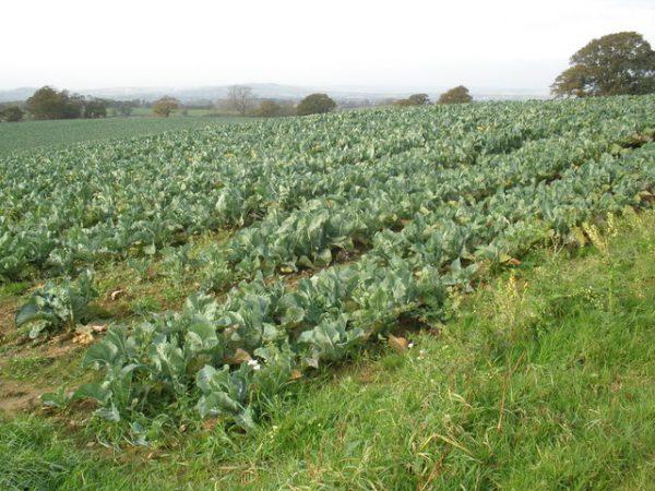 Field of Cauliflowers - Photo by: Roger Cornfoot