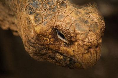 South American Tortoise