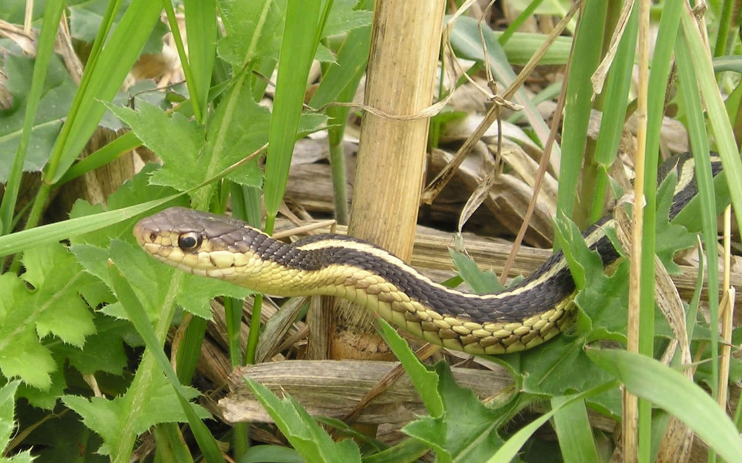Garden Snake , Learn About Nature