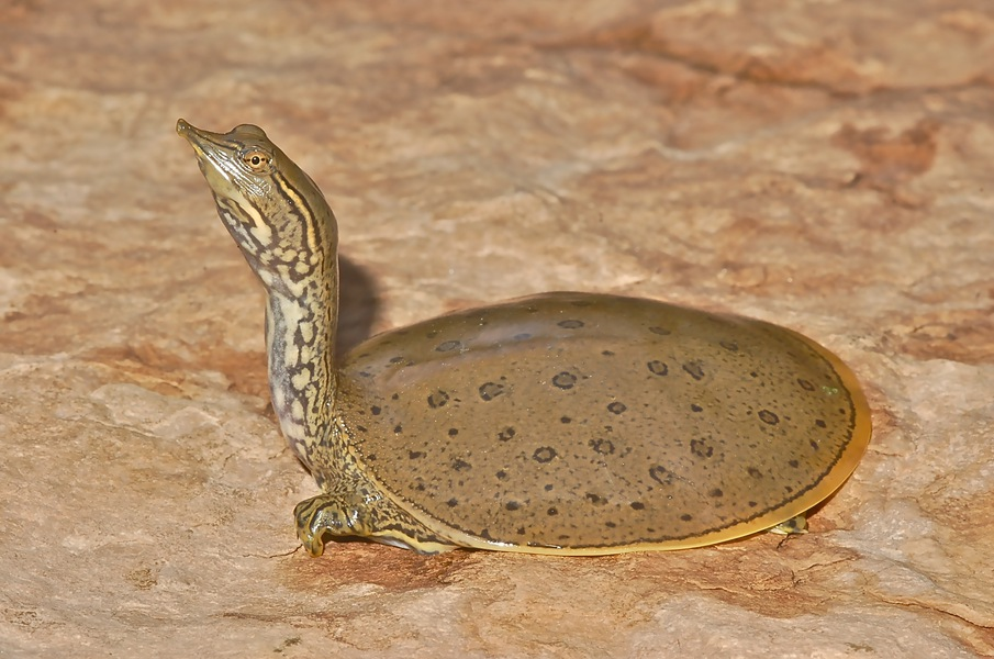 how to clean a soft shell turtle