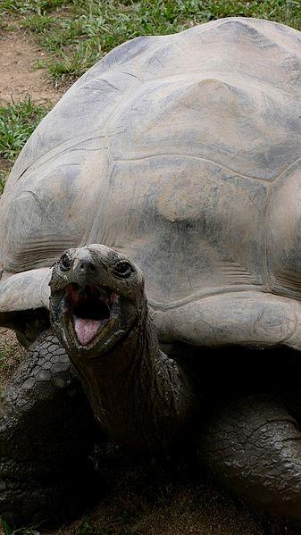Harriet Giant Tortoise