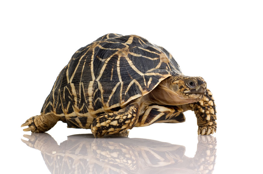 Learn About Nature | Indian Star Tortoise - Learn About Nature