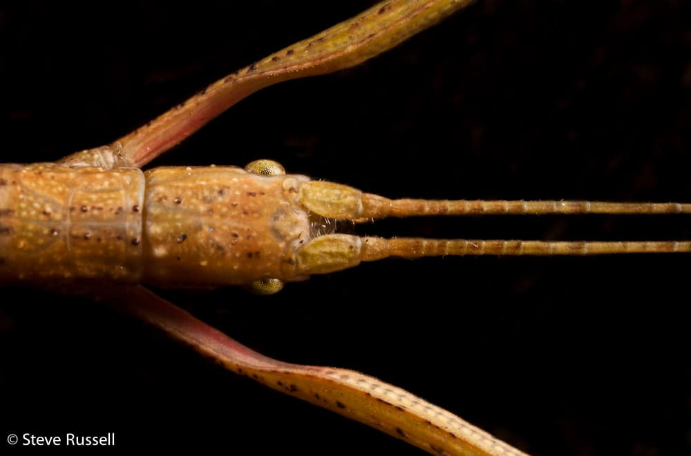 Indian Walking Stick Learn About Nature