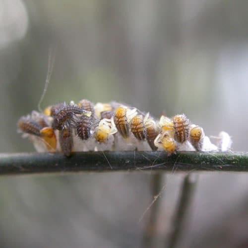 How Long Do Laybugs Live?