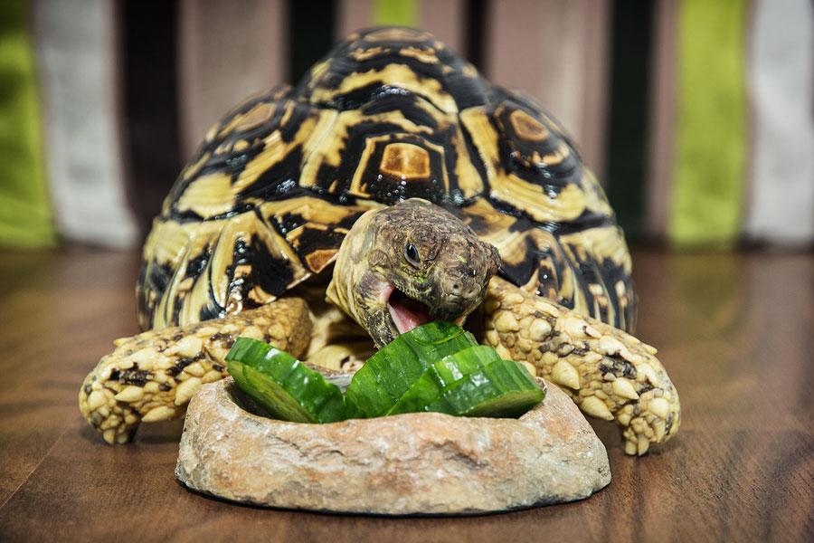 Preparing The Proper Leopard Tortoise Diet Learn About