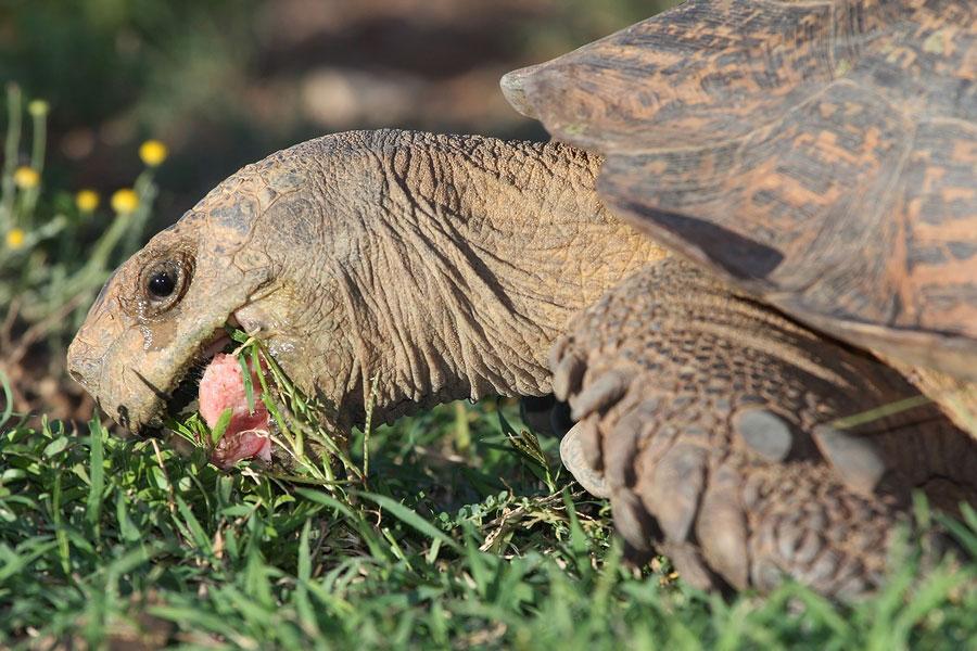 Leopard Tortoise Eating Grass. Photo: Bigstock