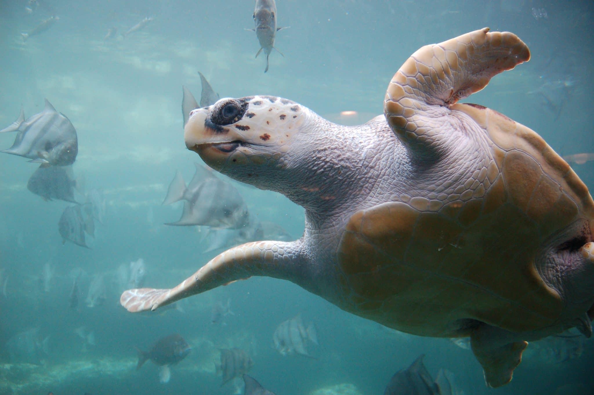 Loggerhead Sea Turtle Thumbnail