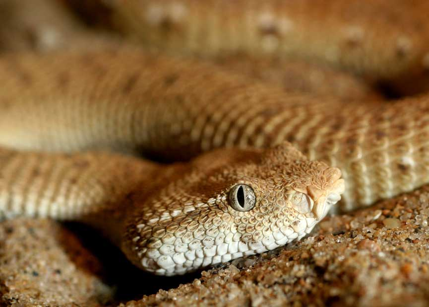 Types Of Snakes Viperidae Vipers Learn About Nature