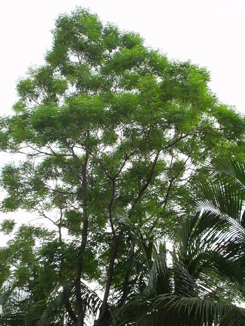 Neem Tree Learn About Nature