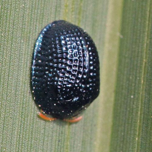 Palmetto Tortoise Beetle
