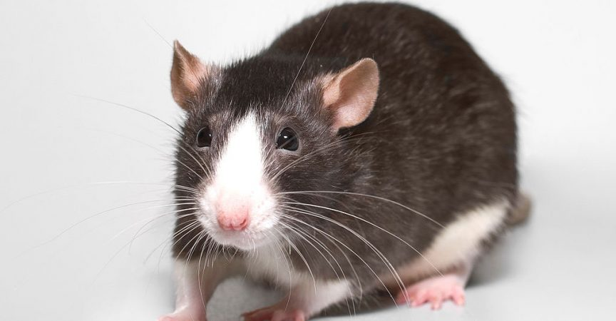 types of pet rats
