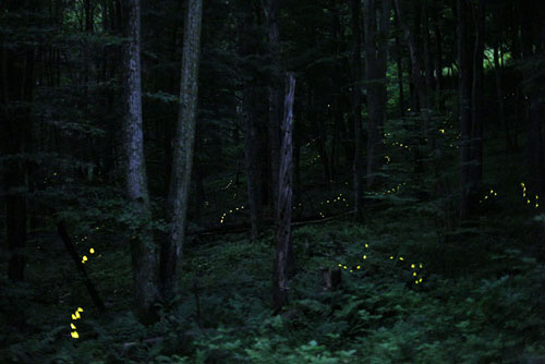 Photinus Carolinus Fireflies