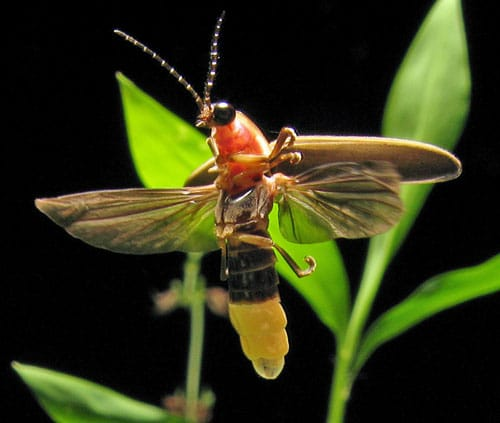 Photinus Pyralis Firefly