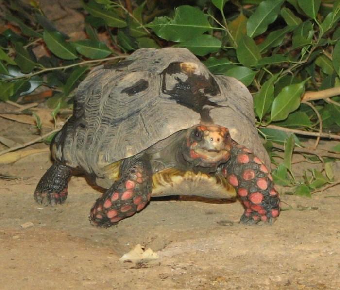 Red Footed Tortoise. Photo: Trisha Shears