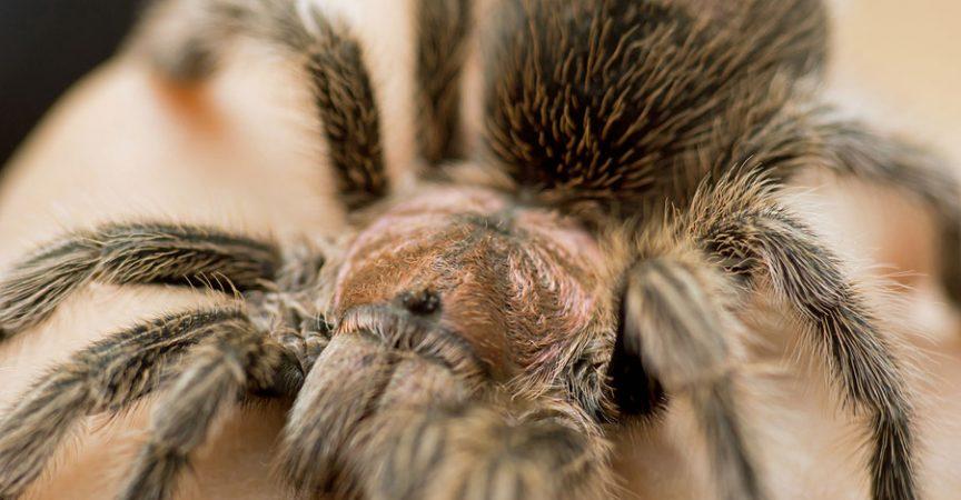 Rose Hair Tarantula Learn About Nature