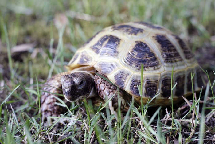 Russian Horsefield Tortoise. Photo: Jallen98499