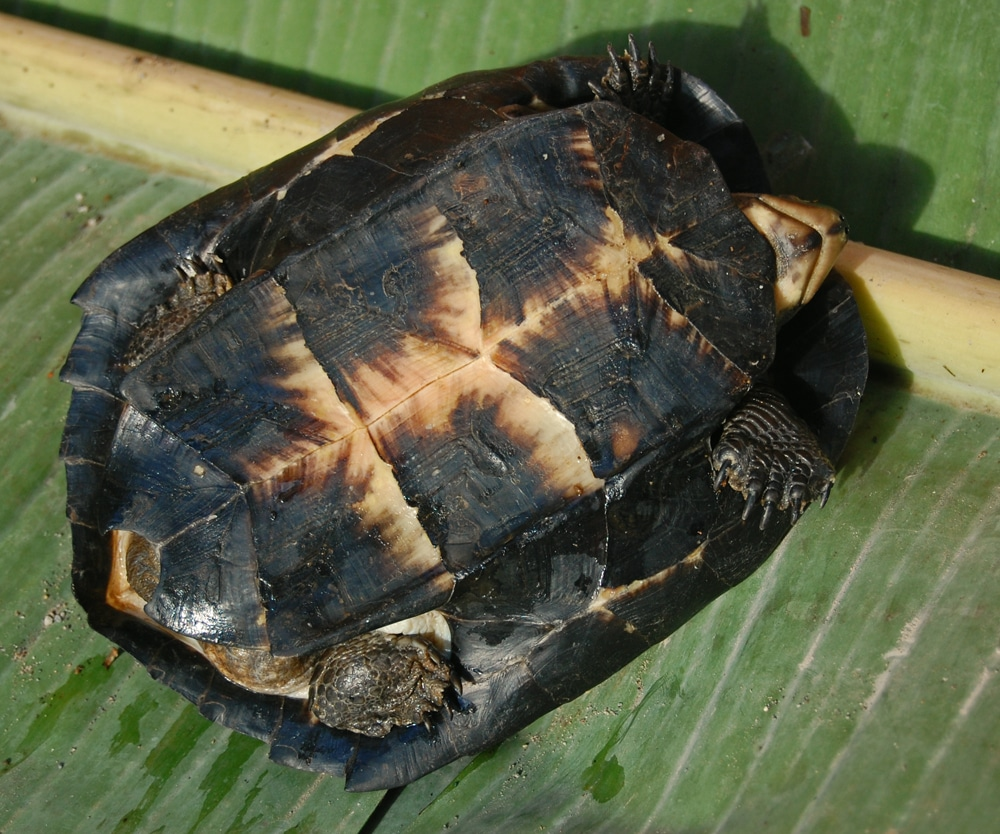 Learn About Nature Black Marsh Turtle Fresh Water And
