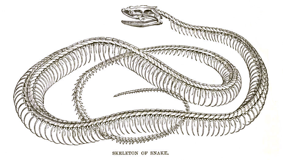 Snake Skeleton - Learn About Nature