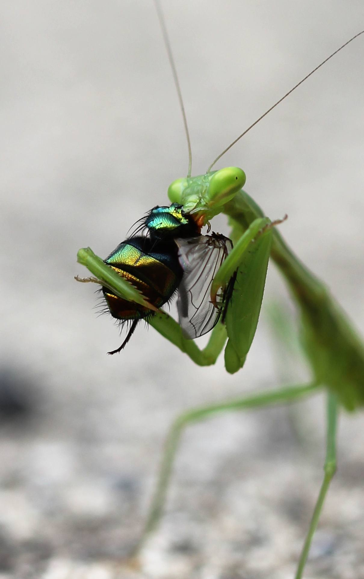 African Mantis Care Sheet Learn About Nature