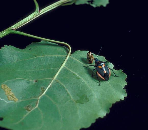 Stiretrus anchorago, as predator feeding on cottonwood leaf beetle