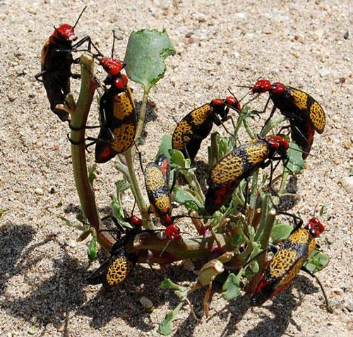 Iron Cross Blister Beetles