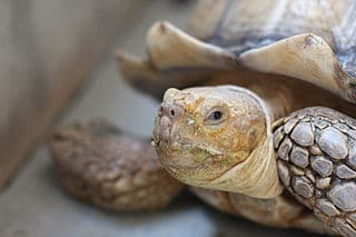 the_african_spurred_tortoise